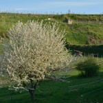 cerisier à Bitzenberg